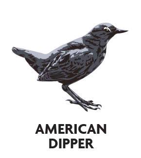 animal-profile-american-dipper