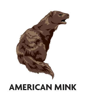 animal-profile-american-mink