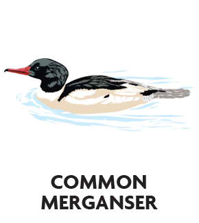 animal-profile-common-merganseranimal-profile-common-merganser