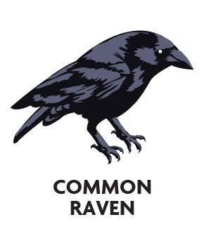 animal-profile-common-raven