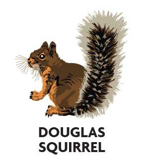 animal-profile-douglas-squirrel