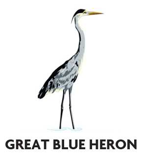 animal-profile-great-blue-heron