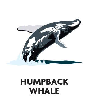 animal-profile-humpback-whale
