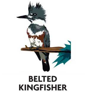 animal-profile-kingfisher