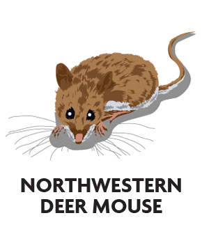 animal-profile-northwestern-deer-mouse