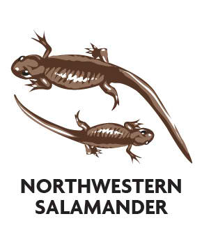 animal-profile-northwestern-salamander