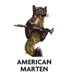 animal-profile-pine-marten