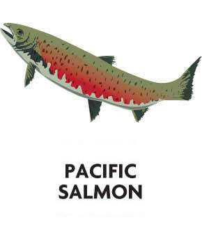 animal-profile-pacific-salmon