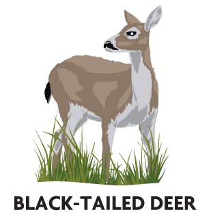 animal-profile-sitka-black-tailed-deer