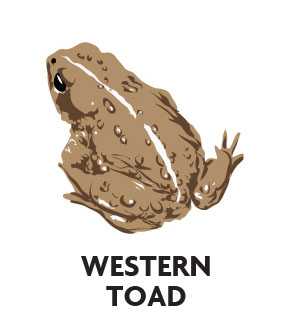animal-profile-western-toad
