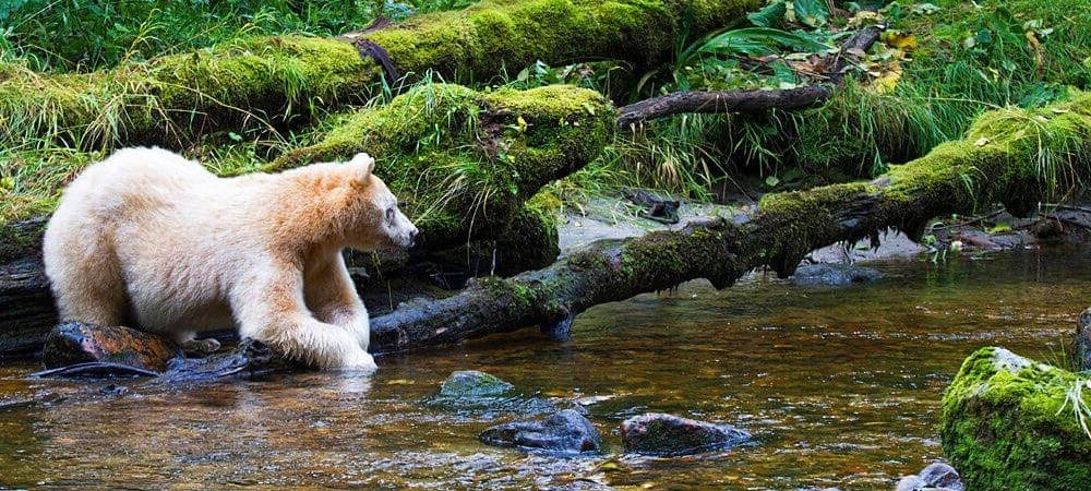 Spirit Bear By River